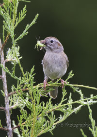 Field Sparrow by JFB Photography