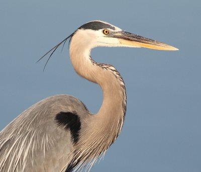 Great Blue Heron by Jason McCain