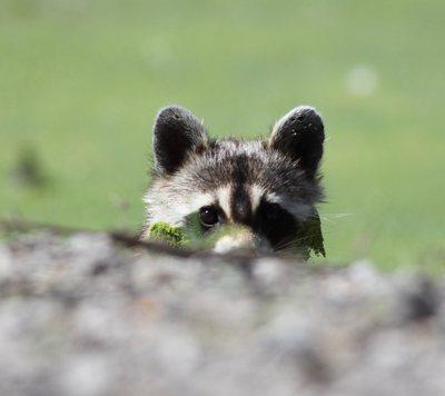 Raccoon by Jason McCain