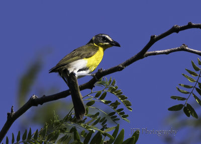 Yellow Breasted Chat by JFB Photography